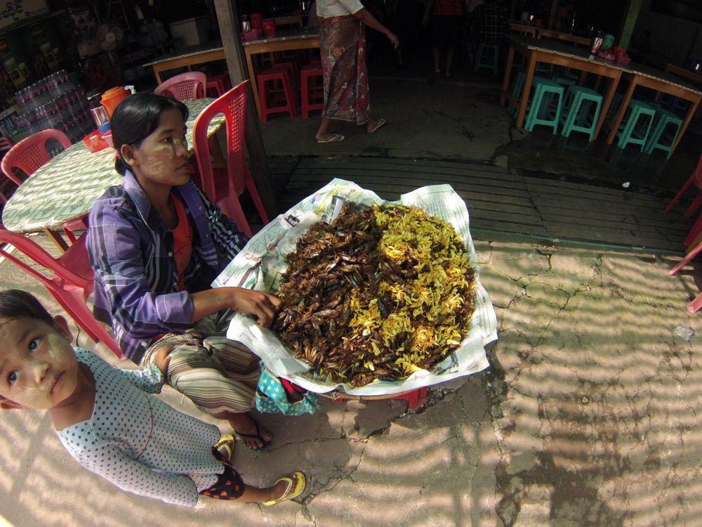 birmania insetti