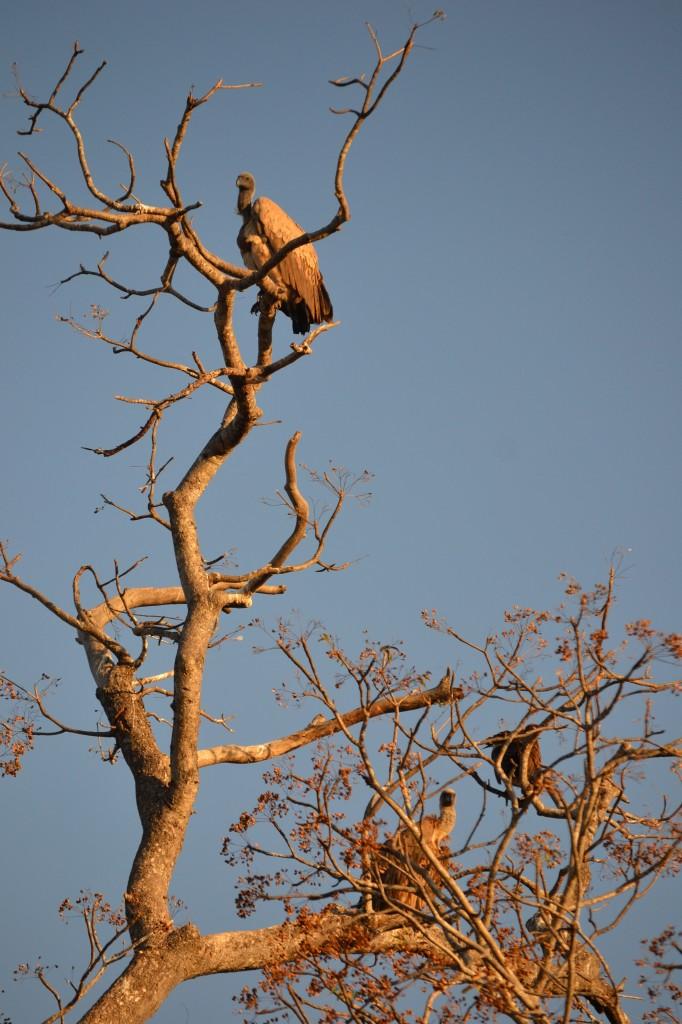 avvoltoio kruger