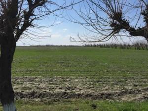 Il campi coltivati che si vedono da Bukhara a Samarcanda
